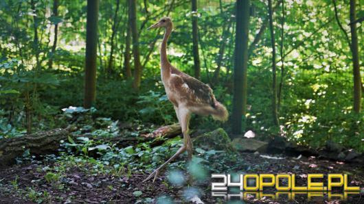 Żuraw mandżurski urodził się w opolskim zoo