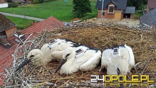 Bociany z Przysieczy mają nowe gniazda. Dwa wyruszyły już w drogę do Afryki