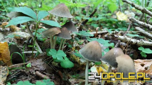 Pierwsi grzybiarze ruszyli w las. Pamiętajmy o ważnych zasadach