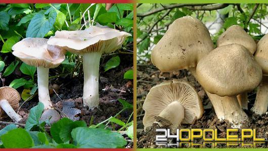 Trujące grzyby podszywające się pod jadalne - jak uniknąć groźnych pomyłek