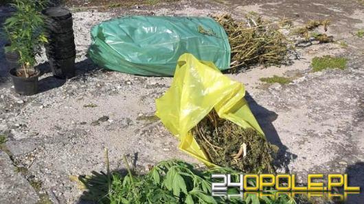 Blisko 4 kilogramy suszu oraz ponad 20 krzewów konopi indyjskiej znalezione u 64-latka