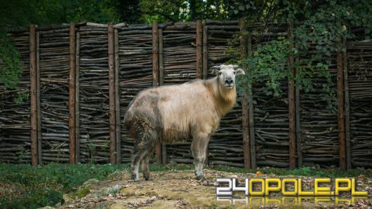 Nowa mieszkanka zoo - Dolores, to samica takina złotego